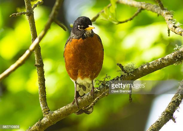 American robin perched in a tree
