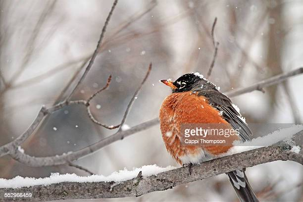 American Robin Perched in Snow