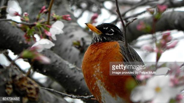 American Robin sitting on a tree