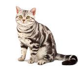 American Shorthair cat on white