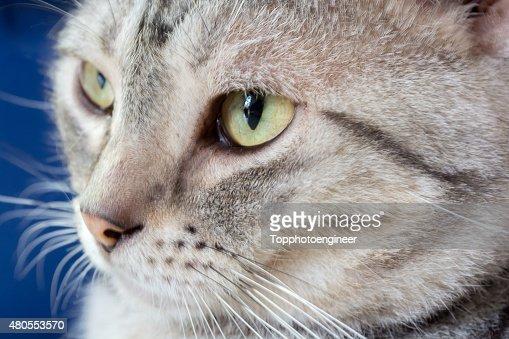 Gato de pêlo curto americano está a olhar para a frente : Foto de stock