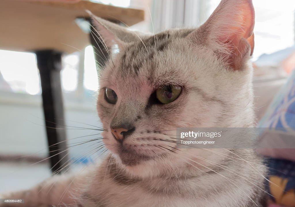 American shorthair cat is looking forward : Stock Photo