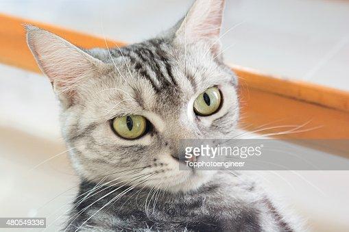 Americano de pêlo curto gato sentado e olhando para a frente : Foto de stock