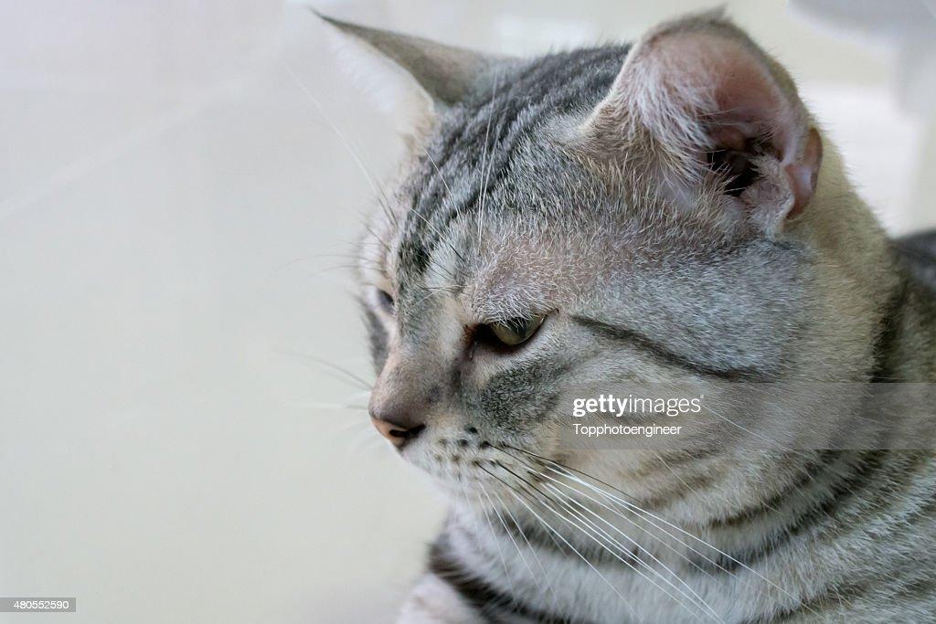 American gato de pelo corto está sentado y mirando hacia adelante : Foto de stock
