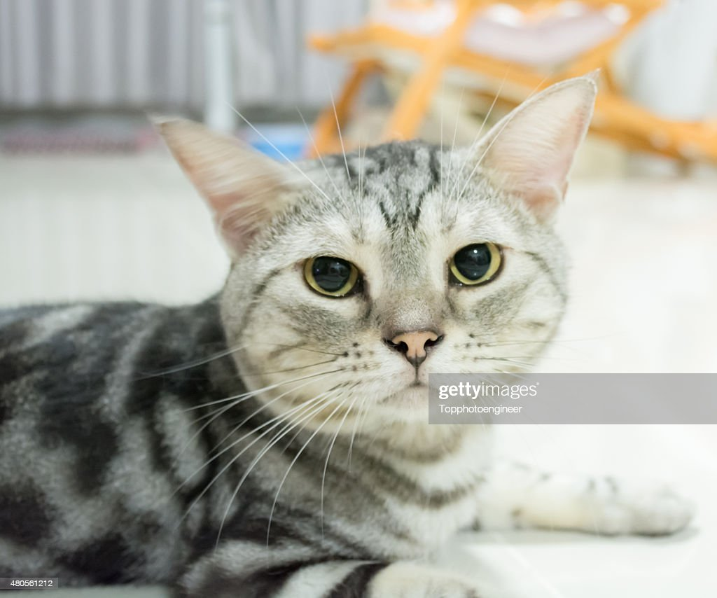 American shorthair cat is sitting and looking forward : Stock Photo