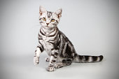 studio photography of an American shorthair cat on colored backgrounds