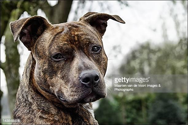American stafford dog