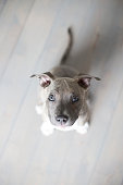 American staffordshire terrier pup