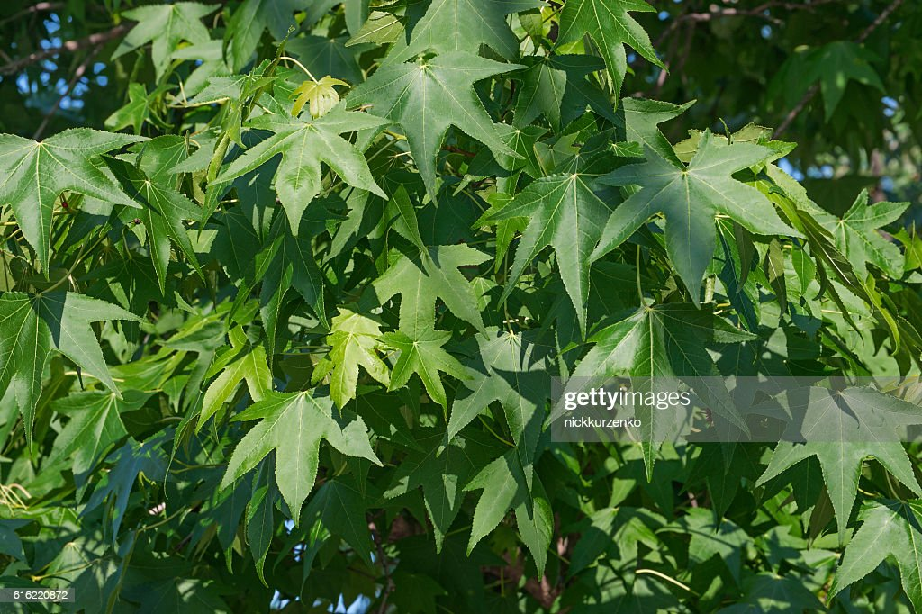 American sweetgum foliage : Stock Photo