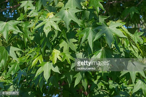 American sweetgum foliage : Foto stock