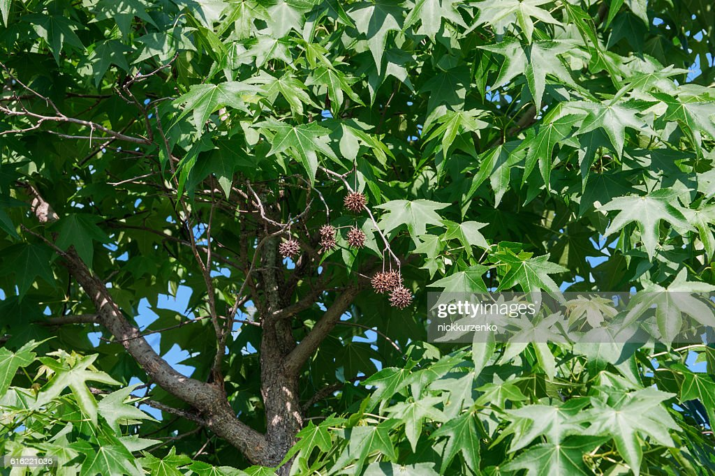 American sweetgum leaves and fruits : Stock Photo