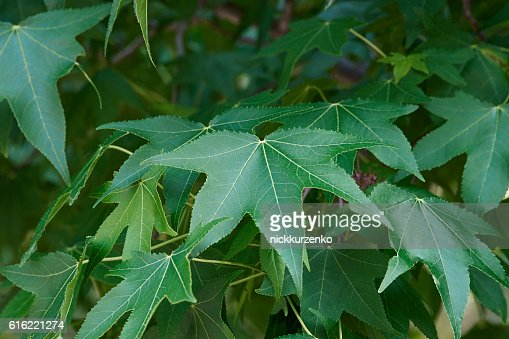 American sweetgum leaves : Stock Photo