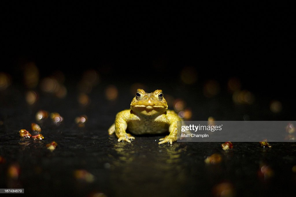 American Toad at Night in the Road : Foto de stock
