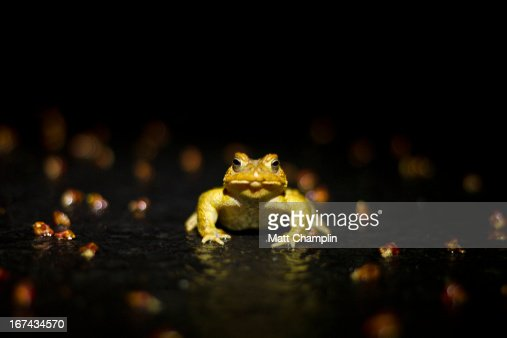 American Toad at Night in the Road : Stock Photo