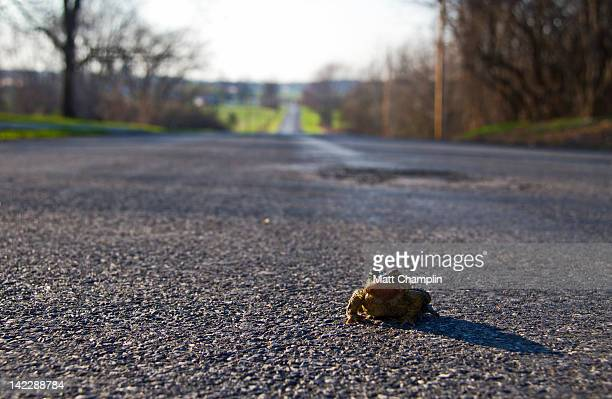 American Toad in road