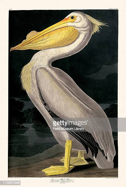 American White Pelican Plate 311 from John James Audubon's Birds of America late 1830s