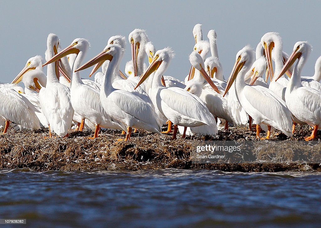 American white pelicans gather on a small island near Bay Jimmy on January 7 2011 in Port Sulphur Louisiana Plaquemines Parish President Billy...