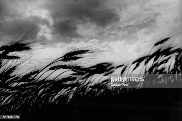 America's Fruitful Plain Ready for Harvest Kansas wheat bends before a stiff wind in an artistic photograph The wheat heads show the maturity that...
