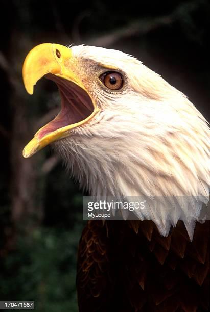 America's Symbol The Bald Eagle in Nature