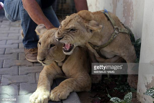 Amir Khalil from the British Four Paws charity plays with lion cubs Mona and Max at a hotel in Gaza City on July 4 after they were denied passage...