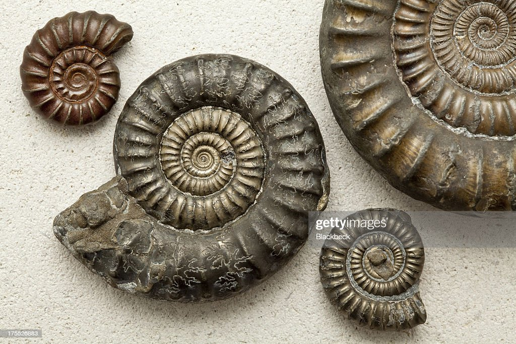 Ammonite fossils on a Portland Stone background