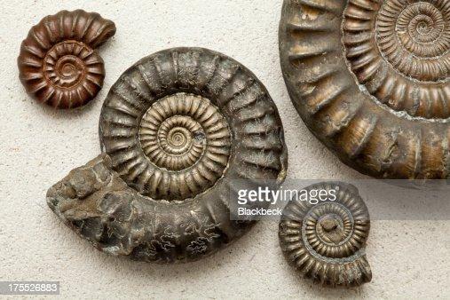 Amonites fossils sobre una piedra fondo de Portland
