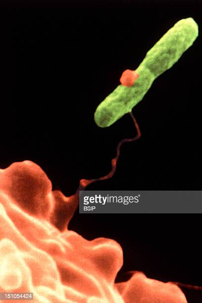 Amoeba Hartmannella Vermiformis Capturing A Legionella Pneumophila Bacterium This Electron Micrograph Depicts An Amoeba Hartmannella Vermiformis...