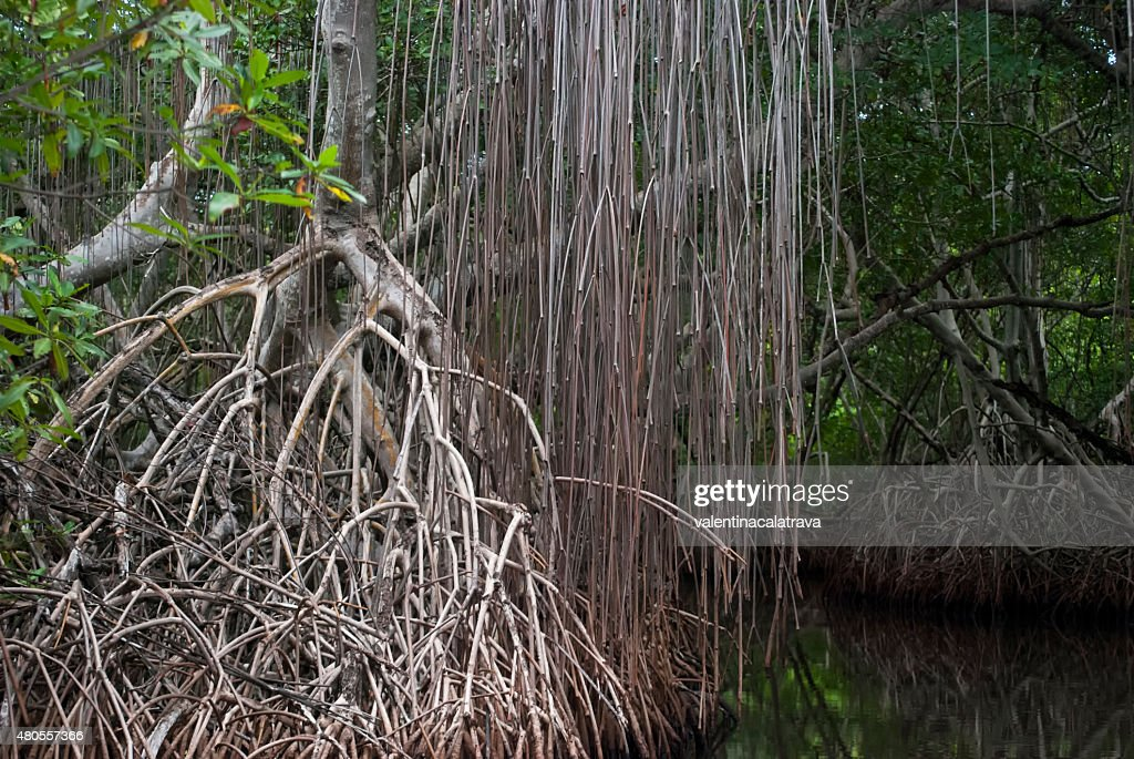 Among the mangrove channels : Stock Photo