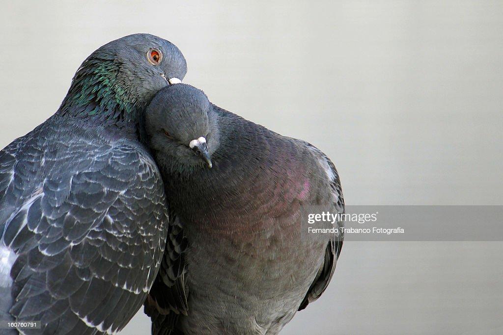 Amor animal : Stock Photo
