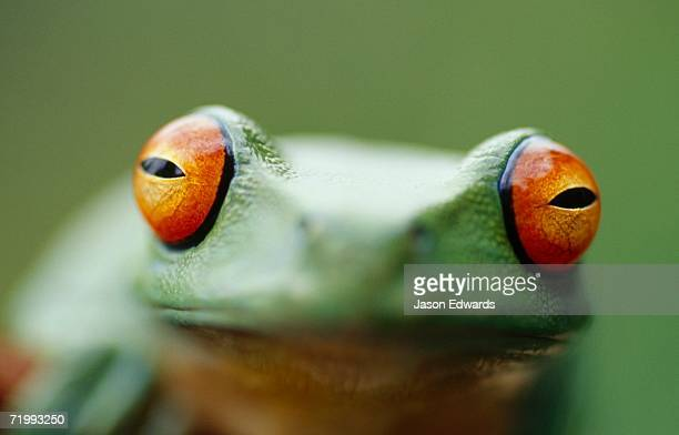 Amphibian Research Centre, Coburg, Victoria, Australia. Close up of a red-eyed tree frog, Agalychnis callidryas.