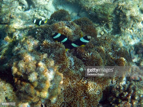 Amphiprion Clarkii, or Clark's Anemonefish (and Yellowtail Clownfish)