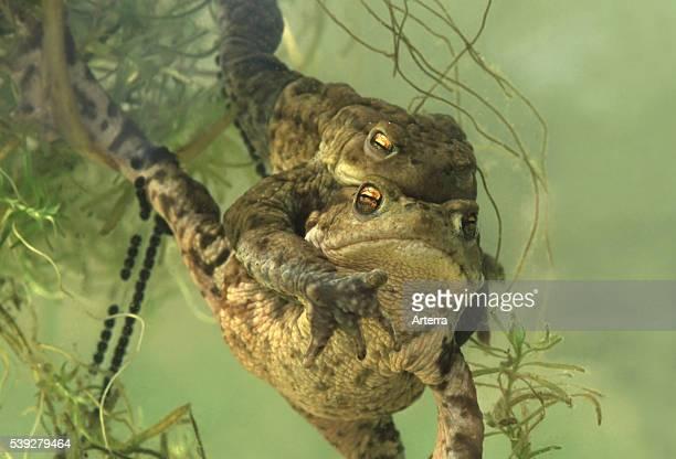 Amplexus of Common toads underwater in pond
