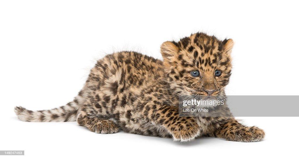 Amur leopard cub - Panthera pardus orientalis : Stock Photo