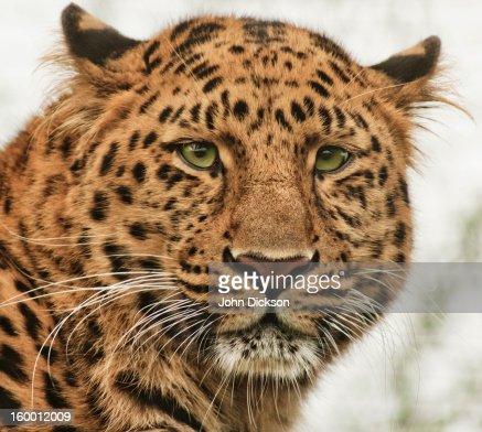 Amur Leopard : Stock Photo