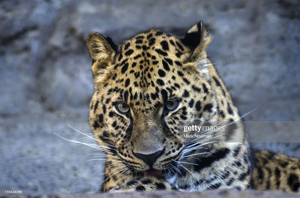 Amur Leopard : Stock Photo