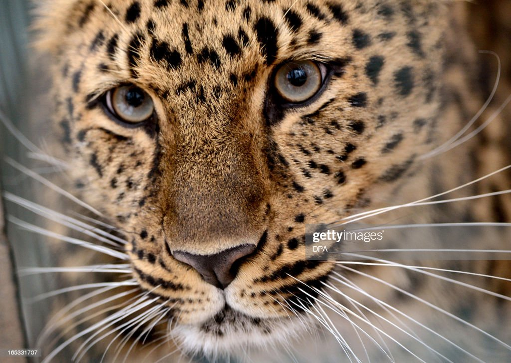 Amur leopard Xembalo is pictured on April 3, 2013 in its enclosure at the zoo in Leipzig, eastern Germany. The work on a new enclosure for the endangered Amur leopards have begun. AFP PHOTO / HENDRIK SCHMIDT GERMANY OUT