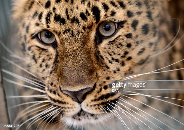 Amur leopard Xembalo is pictured on April 3 2013 in its enclosure at the zoo in Leipzig eastern Germany The work on a new enclosure for the...
