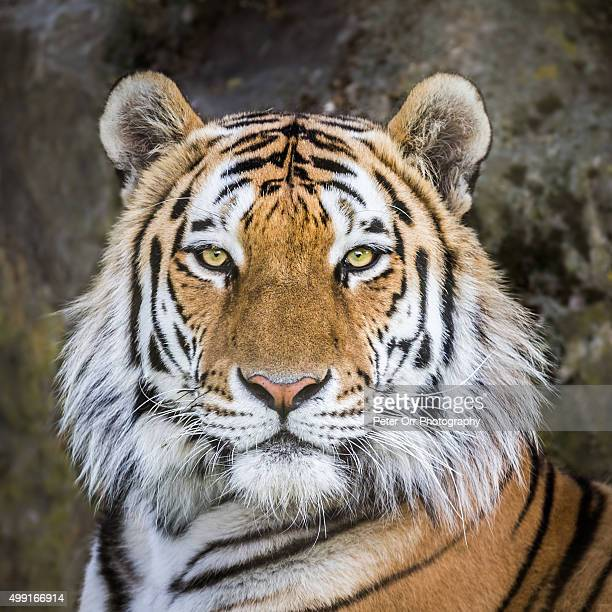 Amur or Siberian tiger portrait