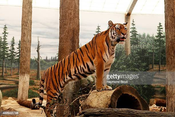 Amur Tiger at the Milwaukee County Zoo on September 13 2015 in Milwaukee Wisconsin