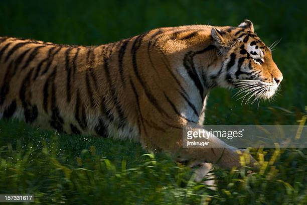 Amur (Siberian) tiger in motion.