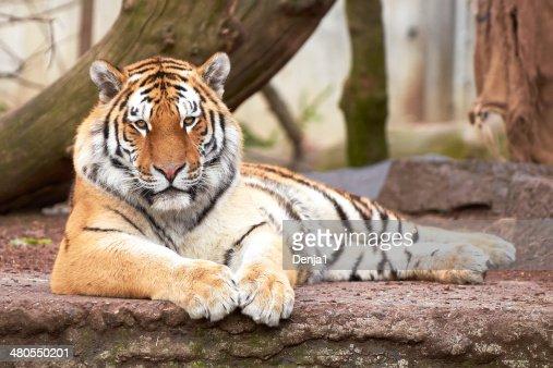 Del Amur Tiger (Panthera tigris altaica) : Foto de stock