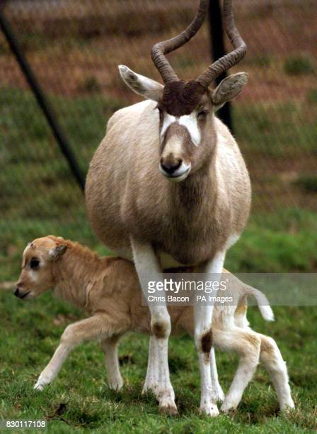 Amy a two week old addax born at Edinburgh Zoo with her mother Cody both named after characters in 'Neighbours The addax are a very rare North...