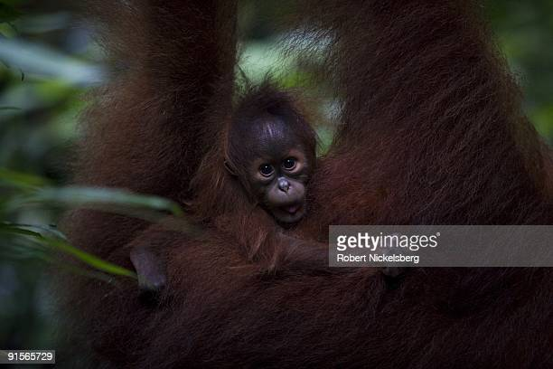 An 18 yearold female orangutan Jekki carries her 4month old baby as she clears through a jungle forest June 12 2009 in Bukit Lawang Sumatra Indonesia...