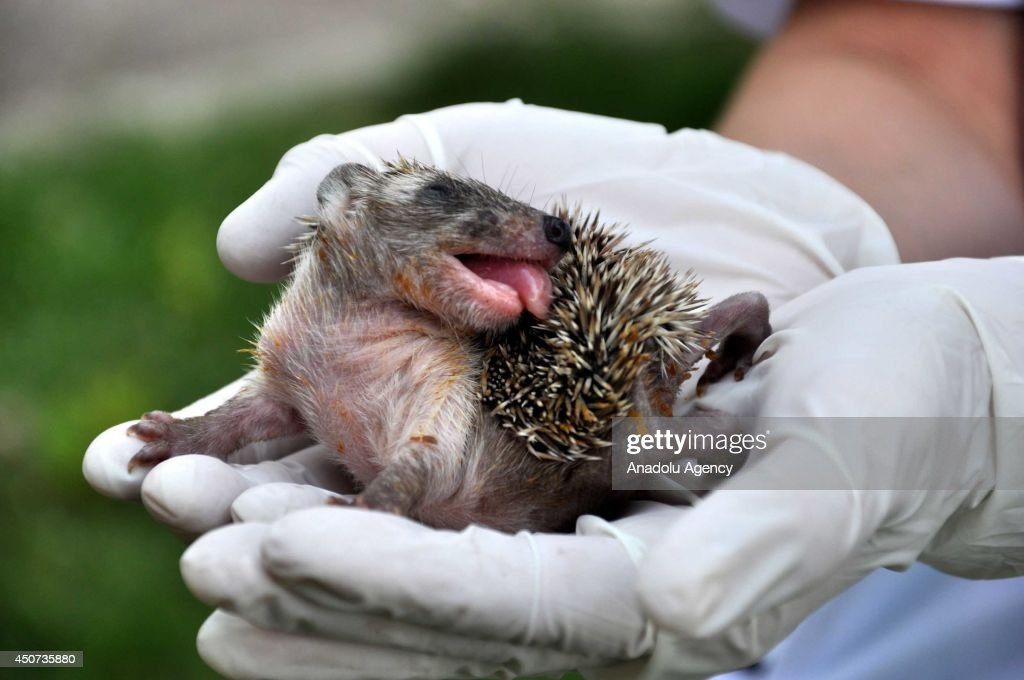 An 18-day-old porcupine cub has been taken to the Wildlife Protection and Rehabilitation Center in Bursa for its treatment after lost its mother, in Turkey, June 16, 2014.