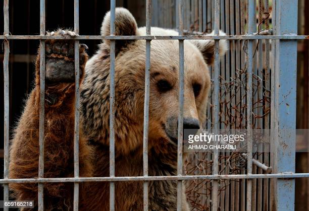 An abandoned bear is seen in a cage at Muntazah alNour zoo in Mosul as the international animal welfare charity 'Four Paws' tries to evacuate the...