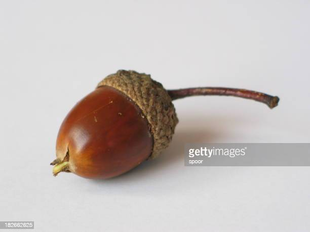 An acorn on a white background