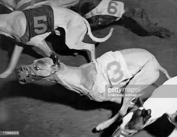 An action shot at a local dog racing track San Francisco California January 22 1937