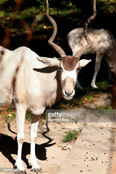 An Addax Calf at Brookfield Zoo in Brookfield Illinois on OCTOBER 10 2013