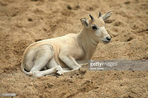 An addax calf born June 7 rests inside the enclosure at Brookfield Zoo on July 2 2013 in Brookfield Illinois About 200 of the nearlyextinct addax...