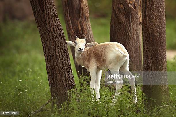 An addax calf born June 7 roams the enclosure at Brookfield Zoo on July 2 2013 in Brookfield Illinois About 200 of the nearlyextinct addax live in...